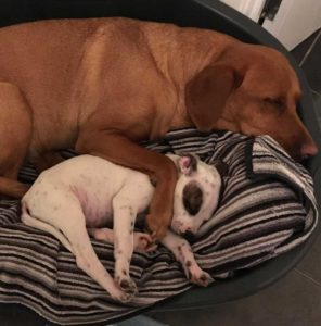 Fox red Labrador Juno and rescue puppy, Staffordshire Bull Terrier with eye patch